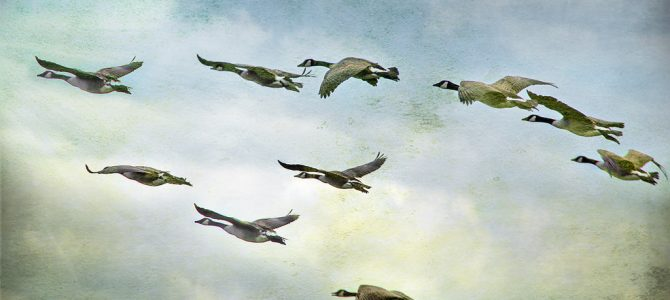 On the wings of wild geese